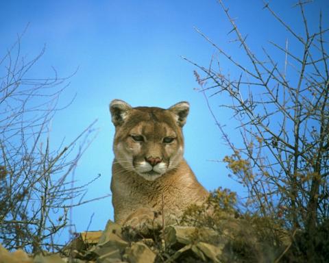 'Jaywalking' mountain lion eludes capture in San Mateo