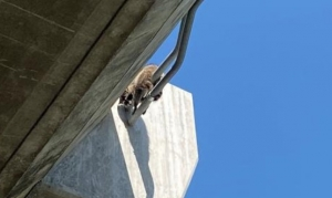 PHS/SPCA rescue raccoon dangling from highway onramp
