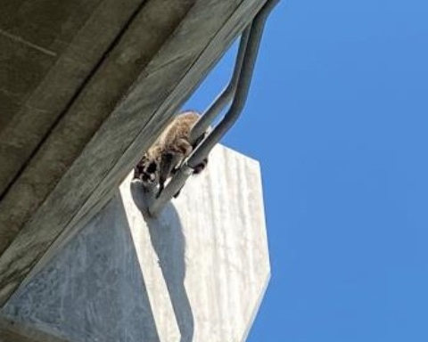 PHS/SPCA rescue raccoon dangling from highway onramp