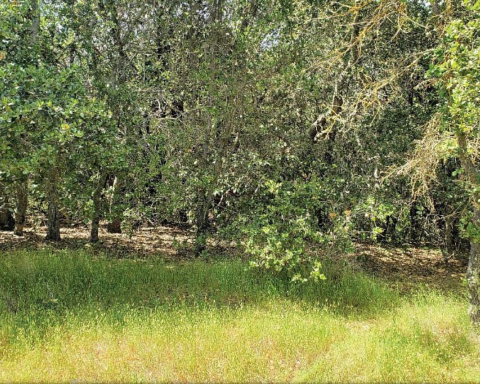 Dense woodland stand of predominately coast live oak contributing to a significant fire risk adjacent to homes in unit