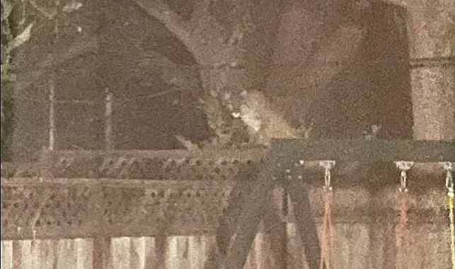 Mountain lion encountered in San Mateo backyard